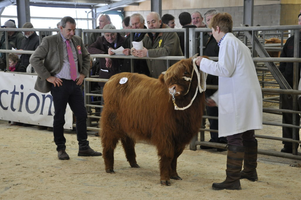 Charlie MacLean judging, as new Highland Cattle Society president Gordon McConachie (centre) looks on.