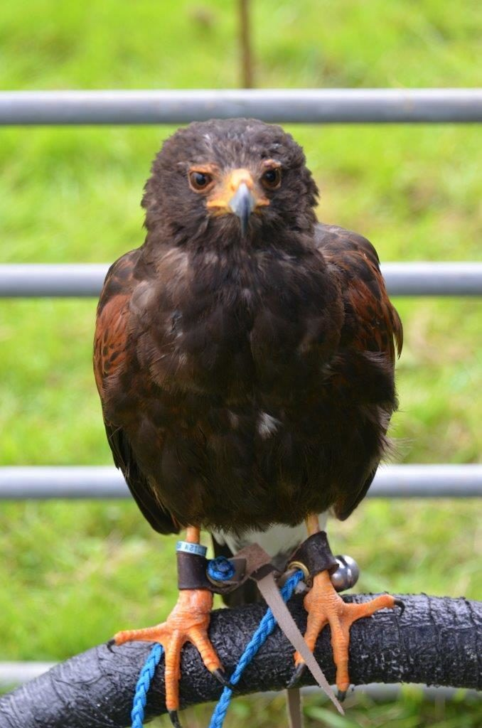 Blake the Harris Hawk has a rest after putting on a splendid display.