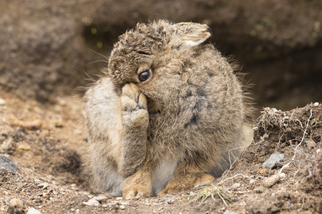 A leveret. Photograph Andy Howard.