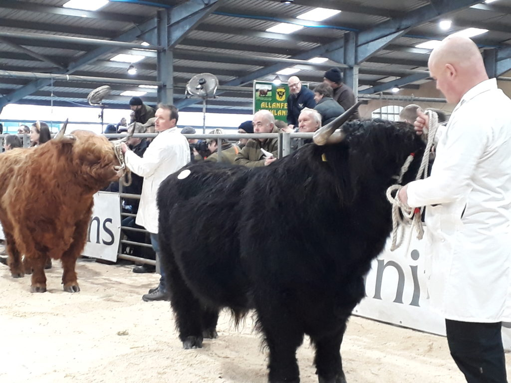 Patiently waiting for the judge to come at Sunday's 128th Spring show at Oban Livestock Centre.