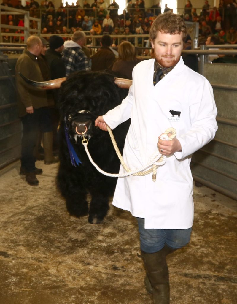 Muran Erchie of Ardbhan coming out of the ring after selling for 11,000gns to a buyer from Germany. The sale was a great success for Mr and Mrs Angus A MacDonald, Ardbhan, Kyles, Bayhead, North Uist.  Picture by Kevin McGlynn.