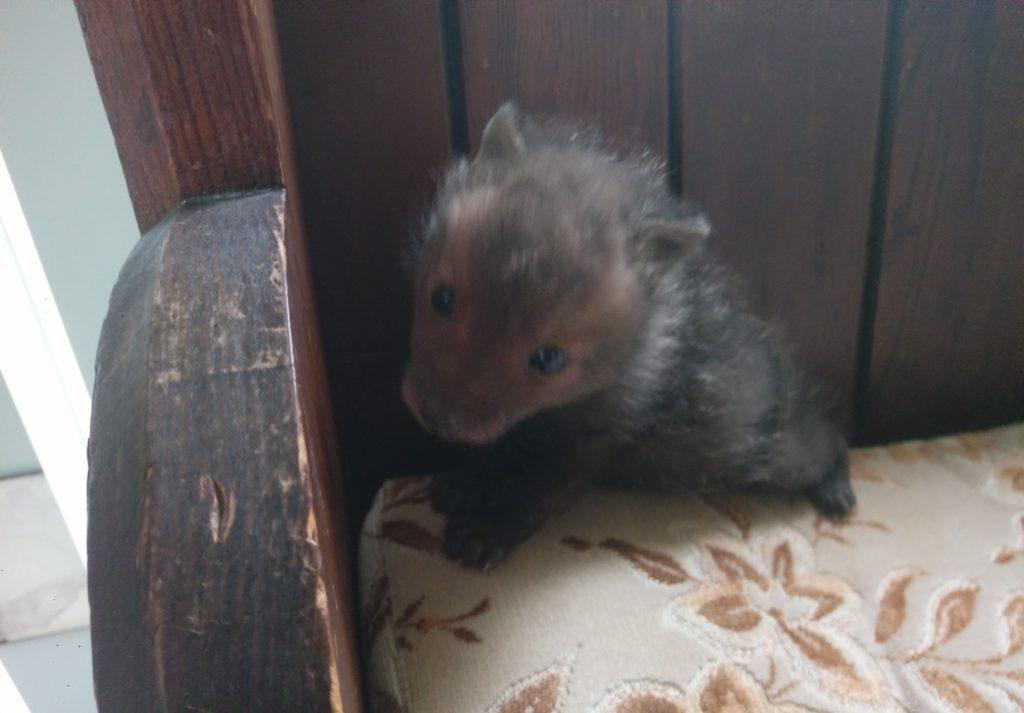 The rescued fox cub safe at the Tin Church on Seil