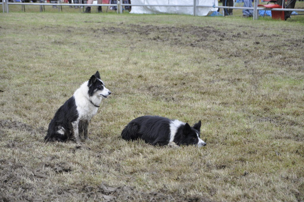 The collies showed great patience and skill in the sheepdog display.
