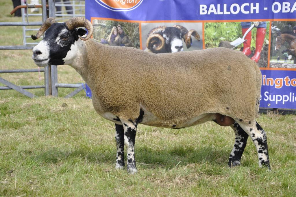 Drimsynie Estate's Blackface ewe was crowned the champion of champions. 15_t32_LornShow04