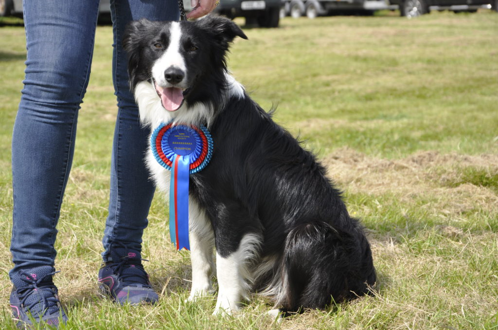 The overall dog champion was a 14-month old working collie called Jock. 15_t32_LornShow11