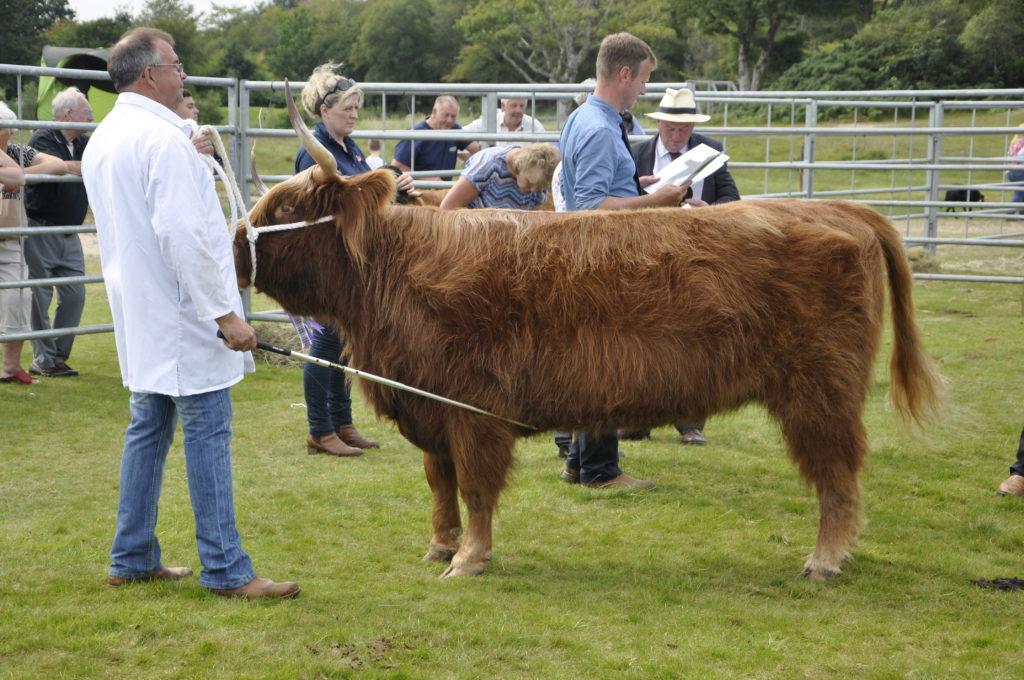 Duncan Buchanan from Achnacloich Farm shows the overall cattle champion - a three year old heifer. 15_t32_LornShow14
