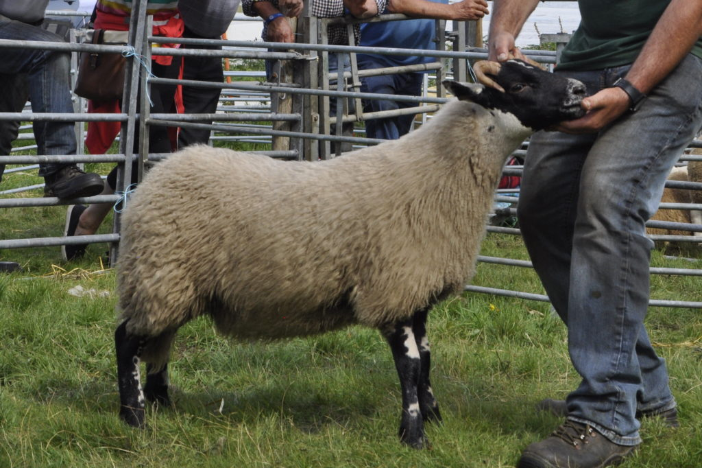 The overall Blackface sheep champion from Torr Na Faire. 15_t32_SalenShow02