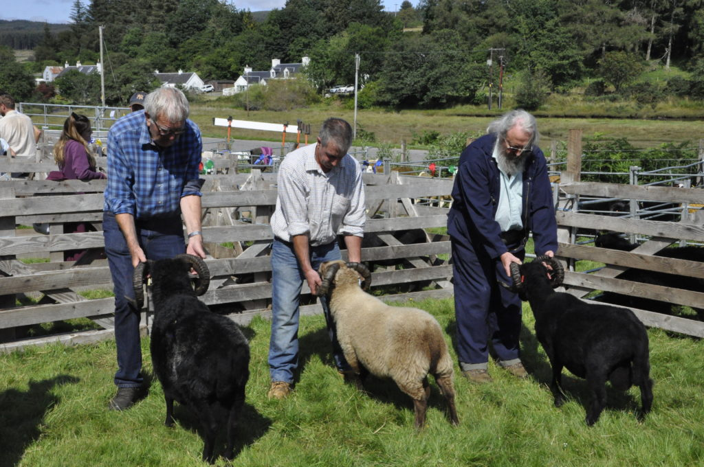 The mature tups line up for judging. 15_t32_SalenShow07