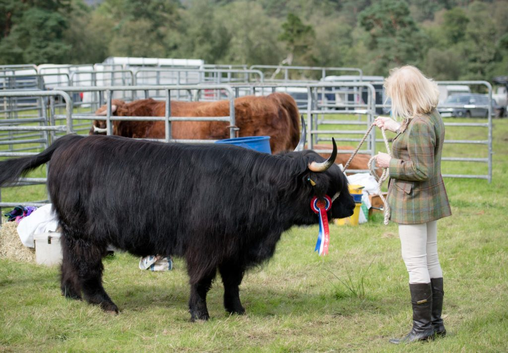 One of the entries stands patiently during the cattle judging.  NO F35 LAS 2019 - Ctatle judging