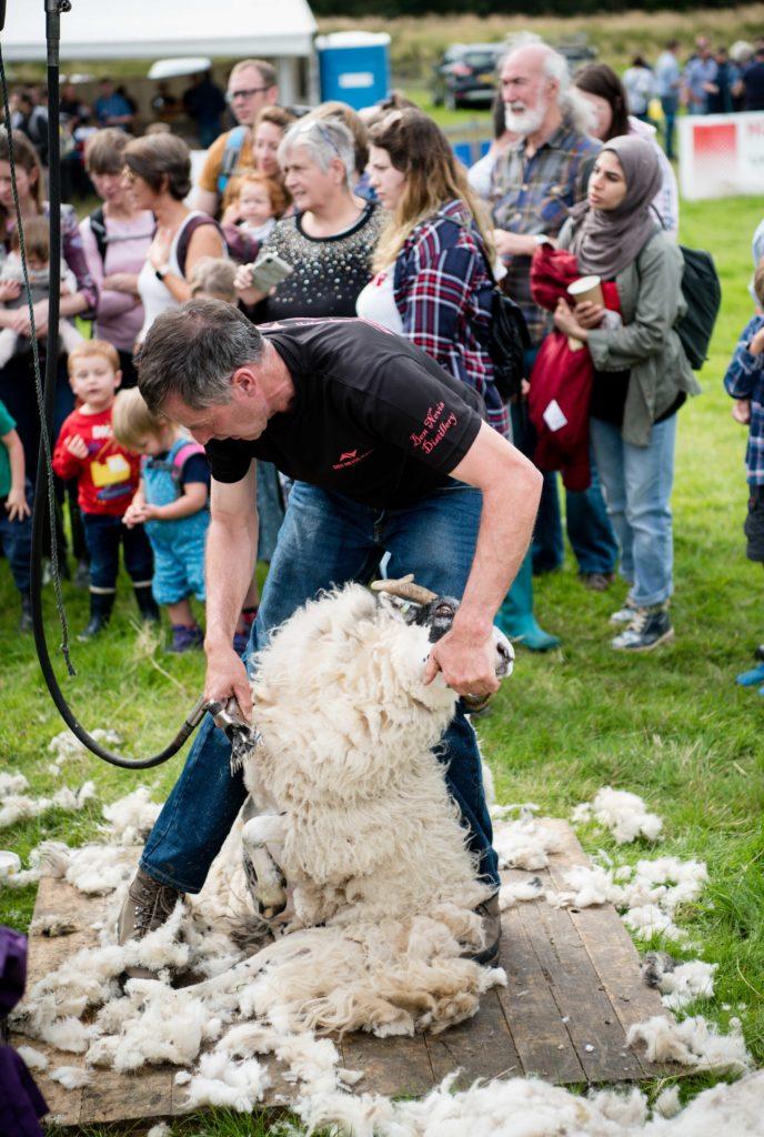 The sheep shearing competition.  NO F35 LAS 2019 - - Sheep shearing demo