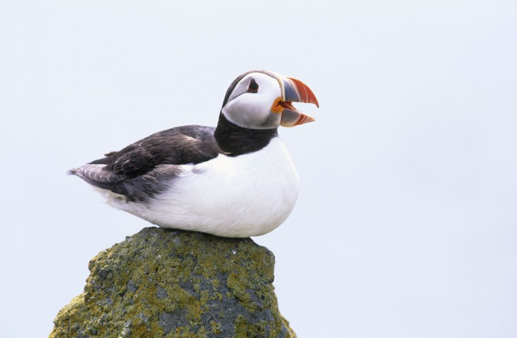 Puffin Fratercula arctica, sitting on rock, Isle of May National Nature reserve, June 2001