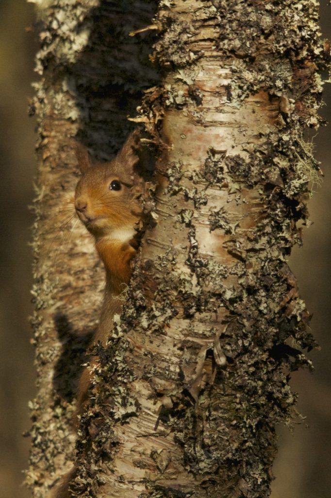 Red-Squirrel-5-©-Stephen-Willis-Saving-Scotland's-Red-Squirrels.