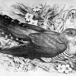 T-18-Morvern-A-cuckoo-from-a-sketch-by-Mrs-Hugh-Blackburn-1923-1909Roshven