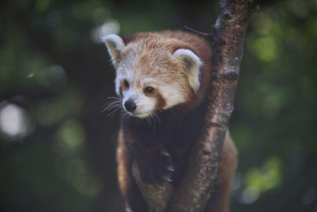 Highland Wildlife Park celebrates International Red Panda Day