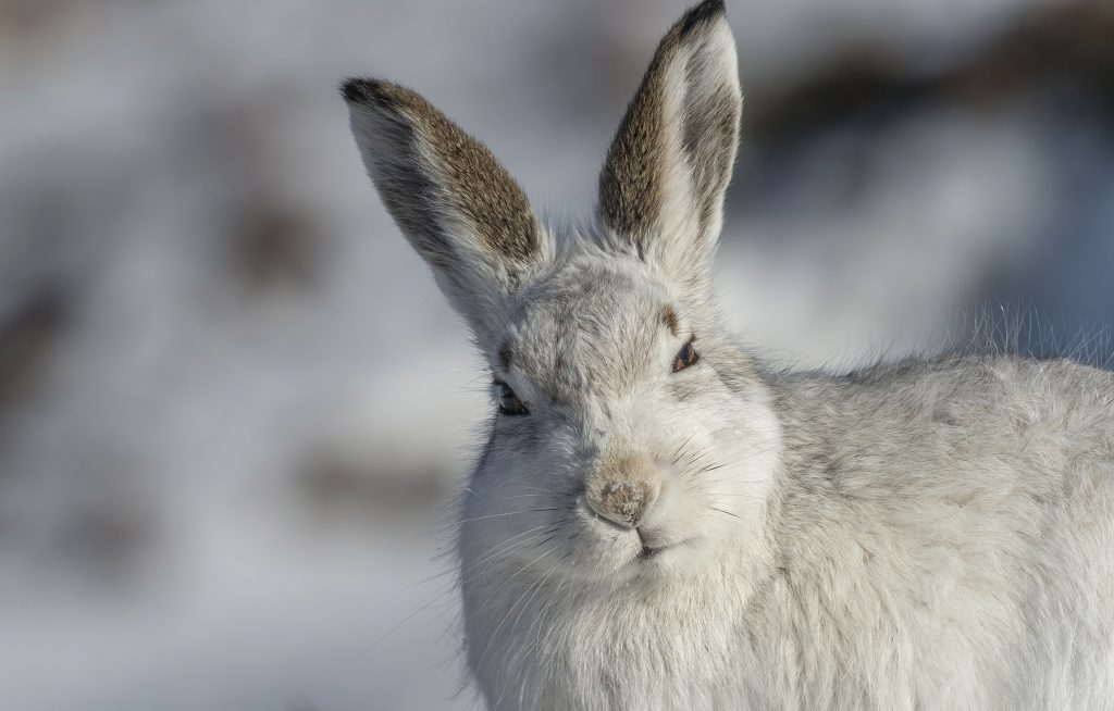 Coalition calls for hares to be protected