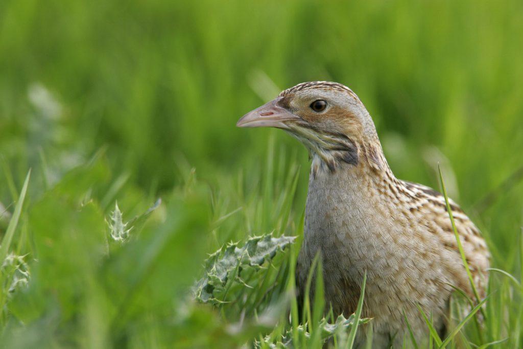 SNH survey shows upland birds in long-term decline