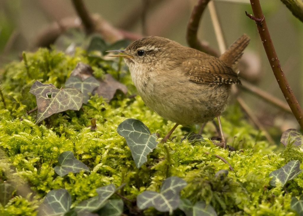 Are wrens Scotland's hardiest birds?