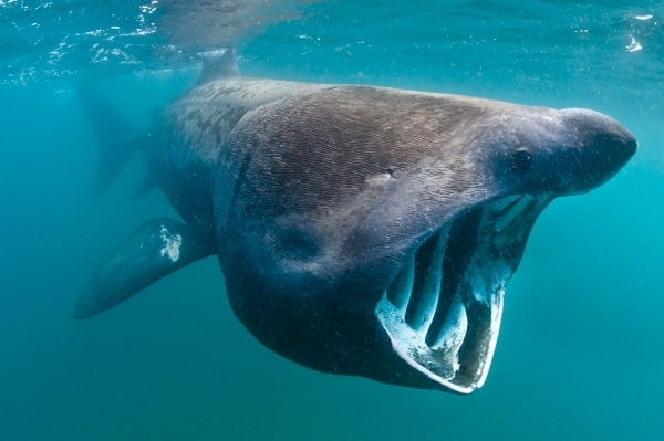 Discovering why basking sharks come to Scotland