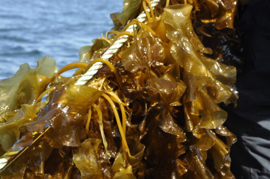 Seaweed farm idea being floated for Arisaig