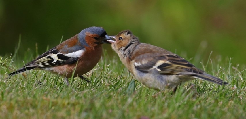 Chaffinch is the most seen bird in Argyll and Bute