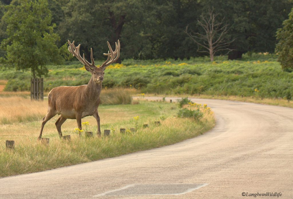 Drivers warned to watch out for deer