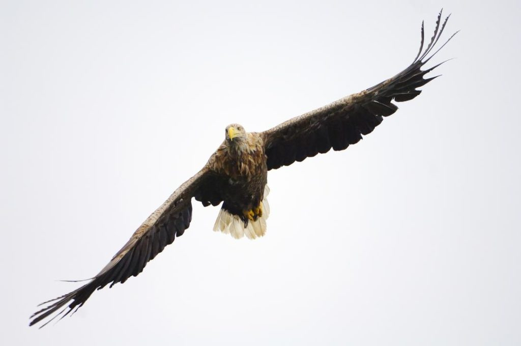 Scotland will help sea eagle population return to England after 200 years