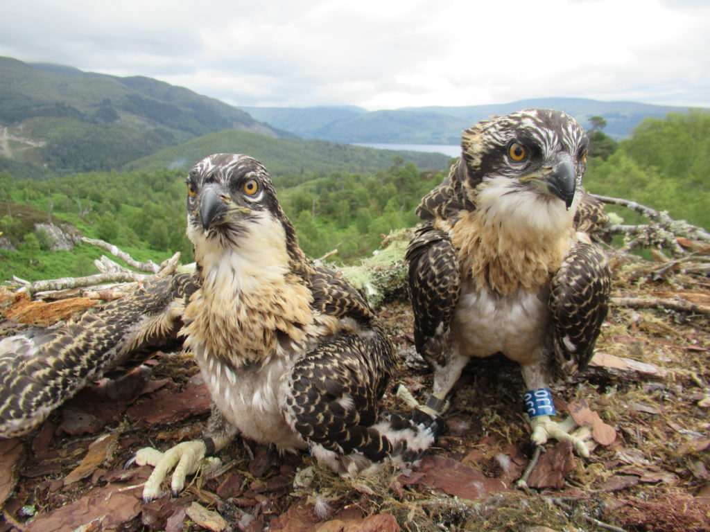 Loch Arkaig osprey chicks christened with names