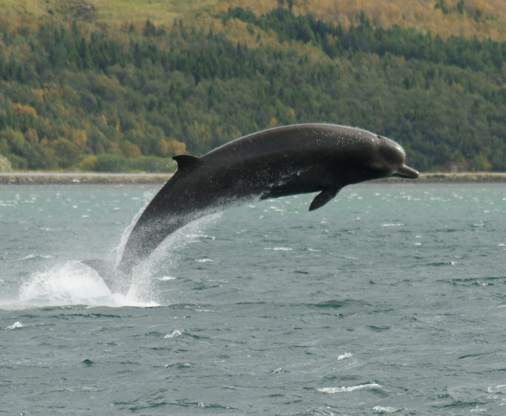 Loch Linnhe welcomes rare ocean-going visitor