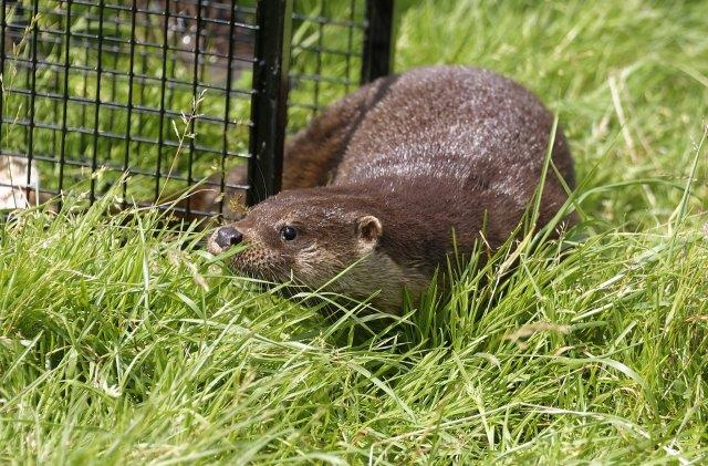 Happy ending as otter cub Forsa released in wild