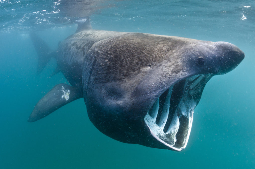 Call for support of world's first basking shark marine protected area
