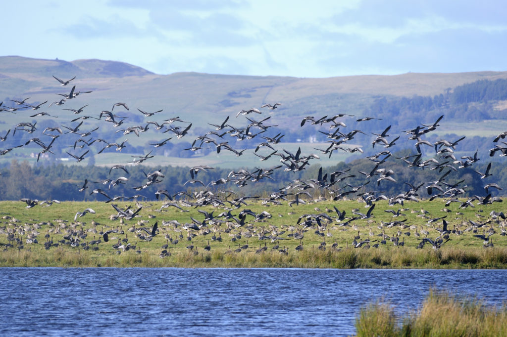 Thousands of geese flock to Loch Leven nature reserve