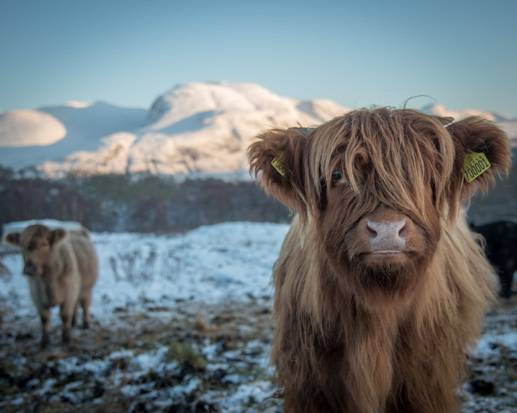 Fort William photographer's hairy coo snap is MSP's festive card choice