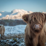 Fort William photographer Kyle Macintyre captured this great image of a Highland cow which MSP Kate Forbes has chosen as her Christmas card for this year. NO F49 Kyle MacIntyre hairy coo pic