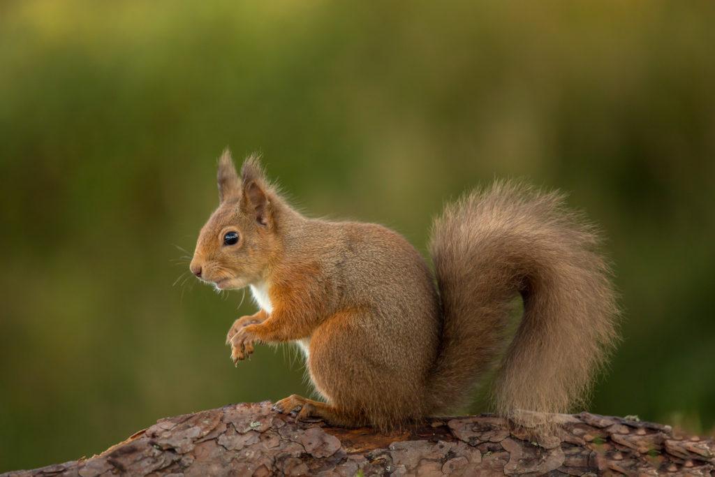 Almost 1,000 red squirrel sightings during survey week